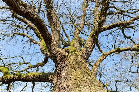50250524-bare-leafless-oak-tree-in-hibernation-view-from-below-with-blue-sky-in-winter