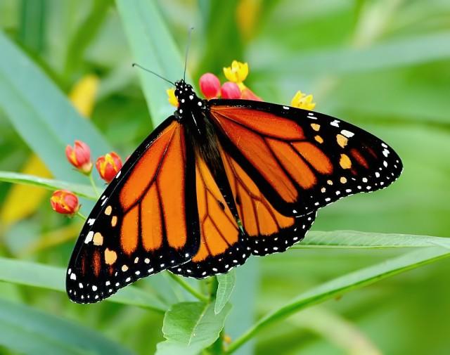 1-Monarch