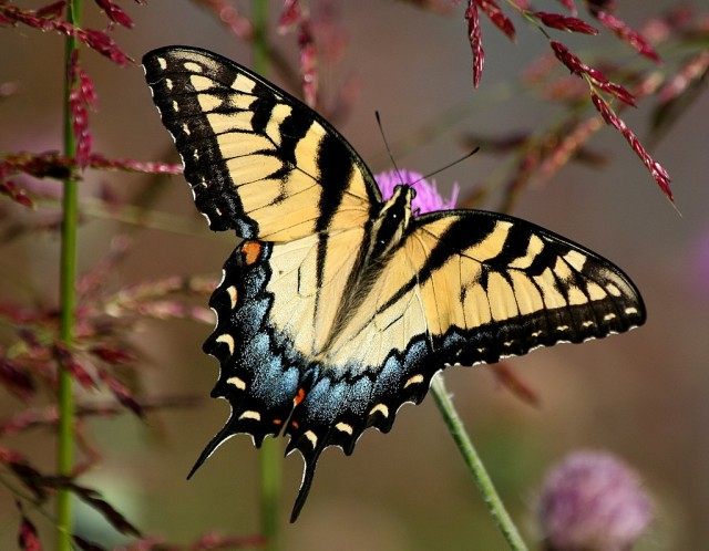 2-Eastern Swallowtail