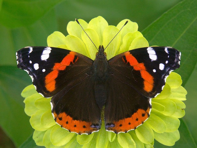 4-Red Admiral
