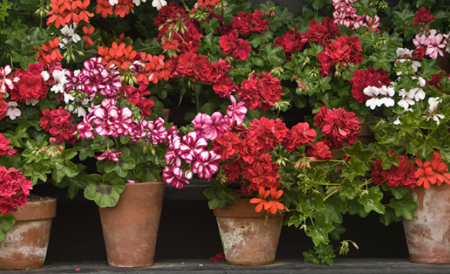 geraniums_articles-miraclegro dot com